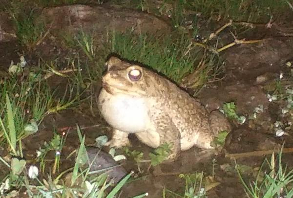Photo of One of many frogs providing a chorus in the dark during the descent to Tamatert
